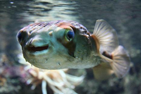 В Японии призвали отказаться от покупки ядовитой рыбы фугу