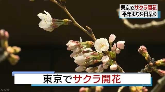 В Токио начинает расцветать сакура