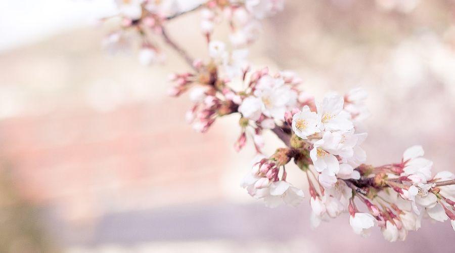 В Сочи заложат сад сакуры в знак русско-японской дружбы