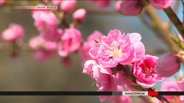 В горной деревне в Японии расцвели тысячи персиковых деревьев