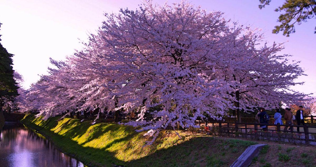 «Сакура в Канадзаве цветет»