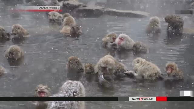 Исследование показало, что обезьяны в горячих источниках снимают стресс
