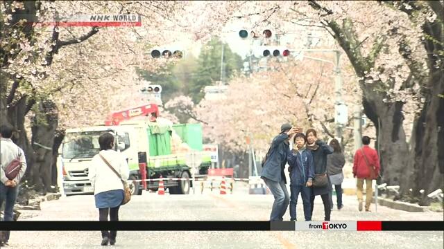 Вблизи АЭС «Фукусима дай-ити» стоят в цвету вишневые деревья сакуры