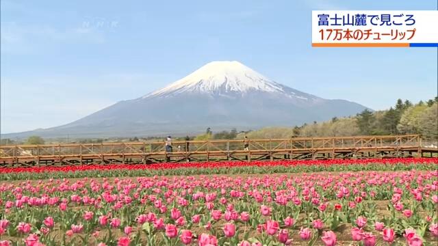 Любители тюльпанов устремляются в парк неподалеку от горы Фудзи