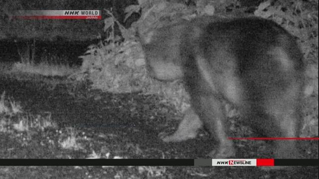 Камера видеонаблюдения запечатлела на небольшом острове на севере Японии бурого медведя