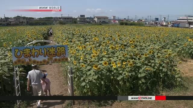 В городе Тэндо на севере Японии пользуется популярностью лабиринт из подсолнухов