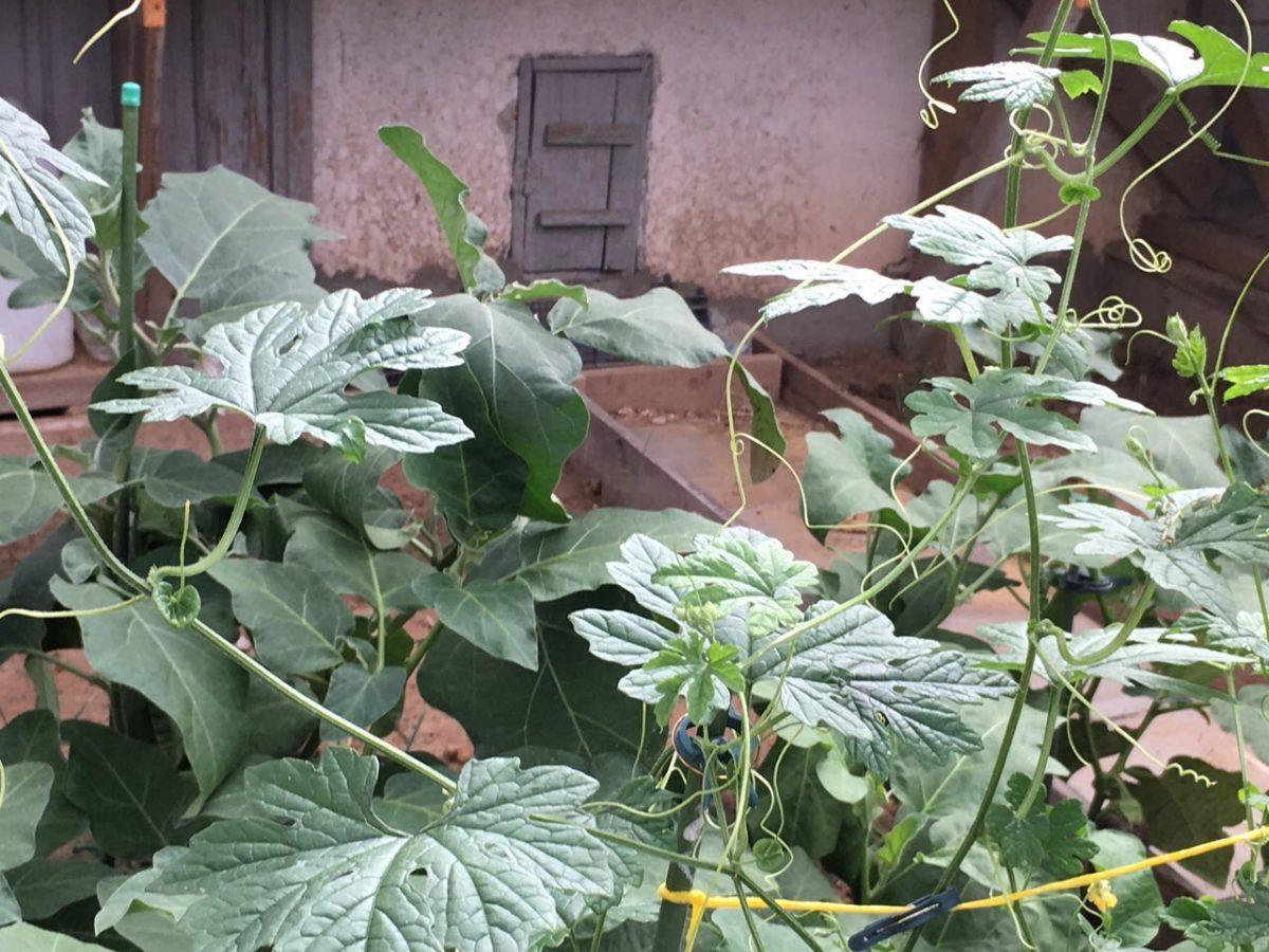 Японские овощи в Калмыкии