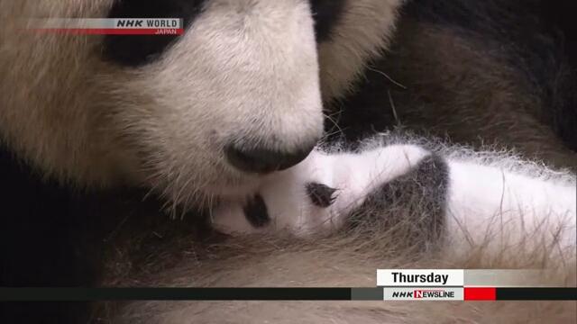 В зоопарке префектуры Вакаяма посетителям показали маленькую панду