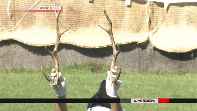 В Нара началось срезание рогов у местных оленей
