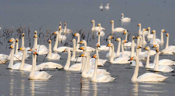СМИ: первая стая сибирских лебедей прилетела на зимовку в Японию