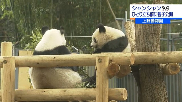 Любимице посетителей Зоопарка Уэно панде Сян Сян предстоит начало самостоятельной жизни
