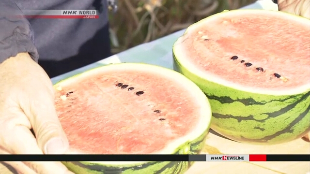 В японской префектуре Коти наступил сезон сбора арбузов