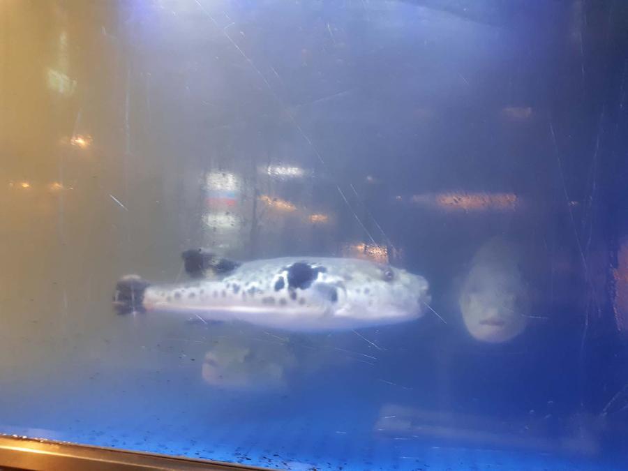 Япония! Ужин из ядовитой рыбы фугу!
