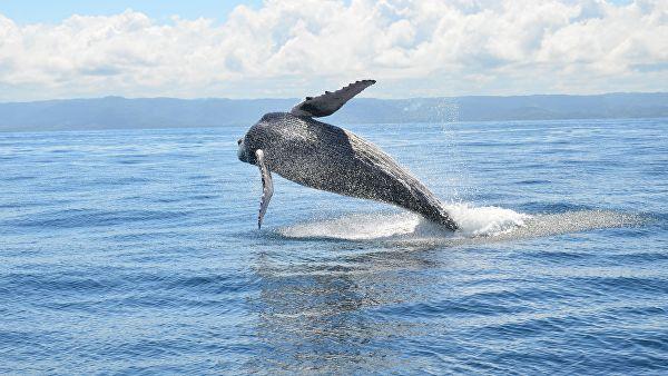 Япония официально объявила о выходе из комиссии по промыслу китов