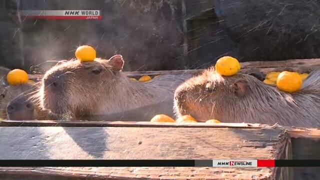 В японском зоопарке капибары купаются в горячей ванне с фруктами