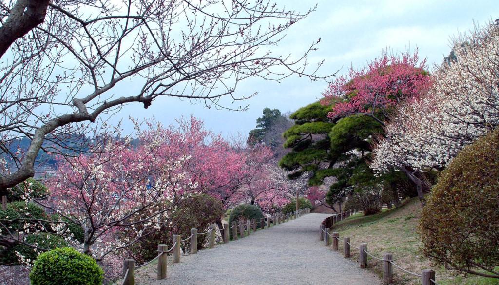 В саду Кайракуэн начался фестиваль японской сливы умэ