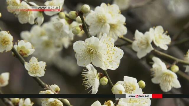 В синтоистском святилище в Киото состоялся праздник цветения японской сливы