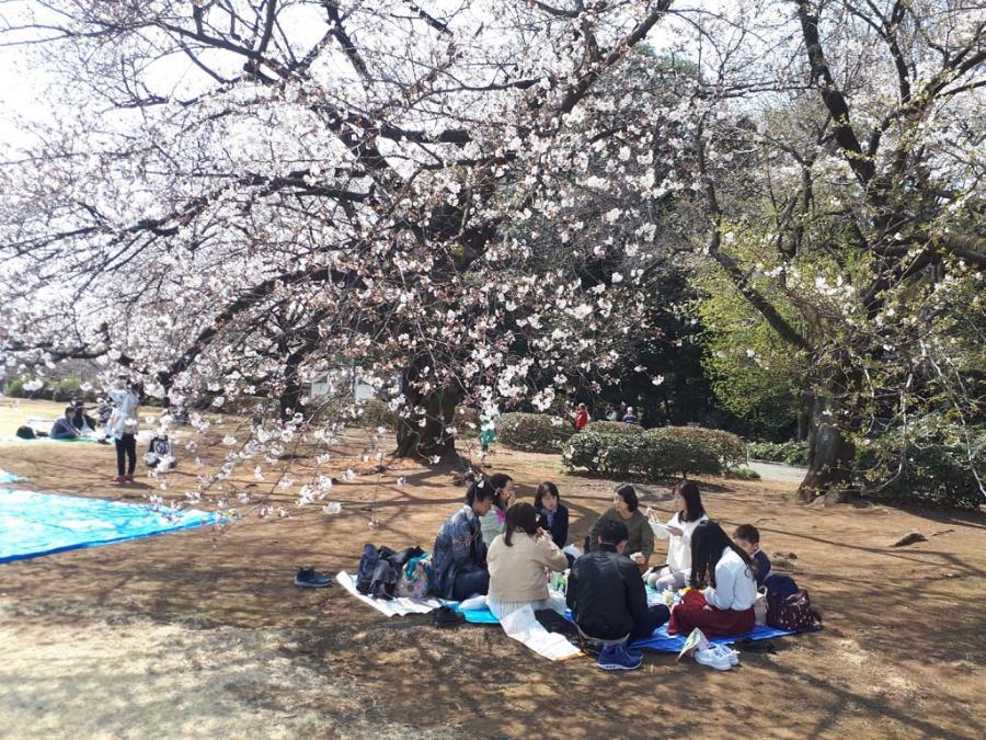 Пост о сакуре в Синзюку Гёэн