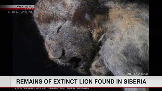 Ученые обнаружили в вечной мерзлоте останки детеныша вымершего пещерного льва