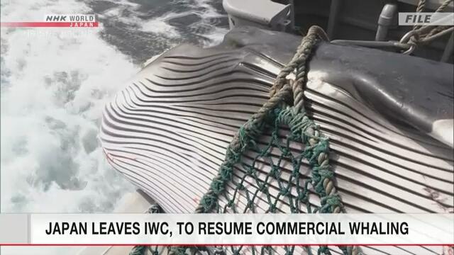 Япония вышла из состава Международной китобойной комиссии
