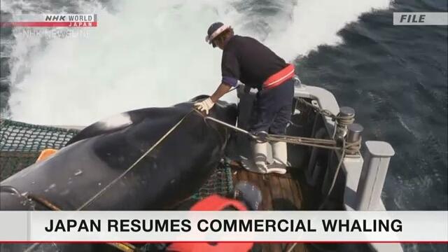 Япония возобновляет коммерческий китобойный промысел