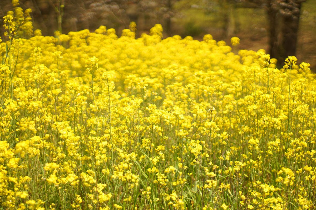 В префектуре Айти начался фестиваль цветов рапс